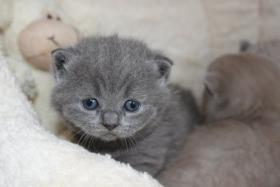Foto 2 BKH/Kartäuser Kitten in blau und lilac