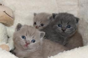 Foto 3 BKH/Kartäuser Kitten in blau und lilac