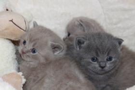 Foto 4 BKH/Kartäuser Kitten in blau und lilac