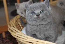 BKH/Kartäuser Kitten in blau und lilac nähe Koblenz
