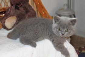 Foto 4 BKH/Kartäuser Kitten in blau und lilac nähe Koblenz