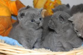 Foto 6 BKH/Kartäuser Kitten in blau und lilac nähe Koblenz