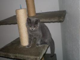 Foto 3 BKH/Kartäuser Kitten komplett geimpft, gechipt und entwurmt