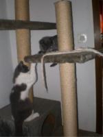 Foto 4 BKH/Kartäuser Kitten komplett geimpft, gechipt und entwurmt