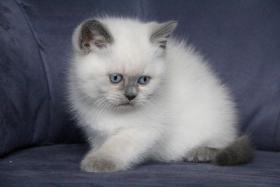 BKH Kater – Katzenbaby mit blauen Zeichen