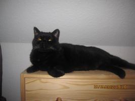Foto 2 BKH Katze sucht ein neues zuhause