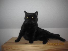 Foto 3 BKH Katze sucht ein neues zuhause