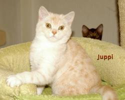 BKH Katze, 5 Monaten alt
