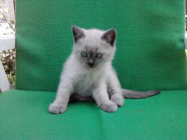 BKH Katzen (3 männlich,1 weiblich)