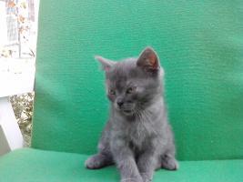 Foto 2 BKH Katzen (3 männlich,1 weiblich)