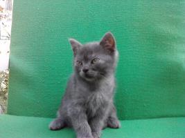 Foto 3 BKH Katzen (3 männlich,1 weiblich)