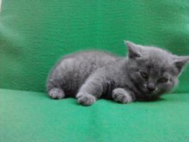Foto 4 BKH Katzen (3 männlich,1 weiblich)