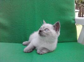 Foto 7 BKH Katzen (3 männlich,1 weiblich)