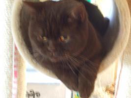 Foto 3 BKH-Katzen auf der Suche nach einem neuen Zuhause