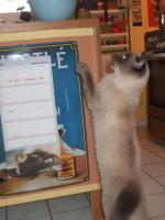 Foto 5 BKH-Katzen auf der Suche nach einem neuen Zuhause