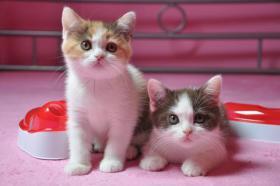 BKH Katzenbabys mit Papiere FIFE