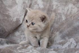 BKH Katzenbabys mit Papiere von Lexa Agasis Zucht