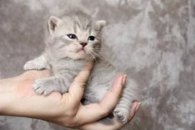 Foto 2 BKH Katzenbabys mit Papiere von Lexa Agasis Zucht