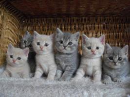 Foto 3 BKH Katzenbabys mit Papiere von Lexa Agasis Zucht