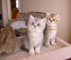 Foto 3 BKH Katzenbabys mit stammbaum zu verkaufen