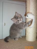 Foto 3 BKH-Katzenbabys zu vekaufen