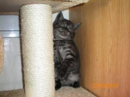 Foto 4 BKH-Katzenbabys zu vekaufen