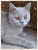 Foto 2 BKH Kitten