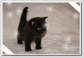 Foto 3 BKH Kitten