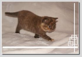 Foto 5 BKH Kitten