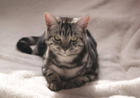 Foto 7 BKH Kitten