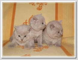 Foto 15 BKH Kitten