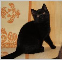 Foto 17 BKH Kitten