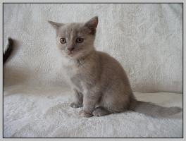 Foto 6 BKH Kitten