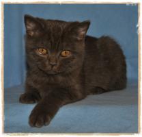 Foto 4 BKH-Kitten