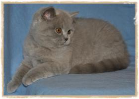 Foto 6 BKH-Kitten