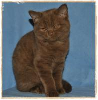 Foto 7 BKH-Kitten