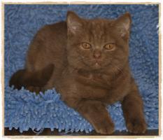 Foto 2 BKH-Kitten