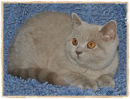 Foto 3 BKH-Kitten