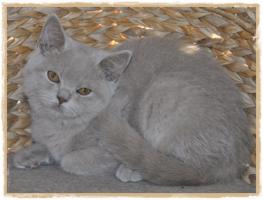 Foto 5 BKH-Kitten