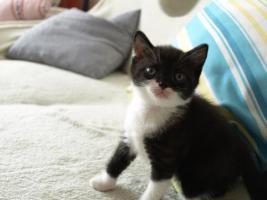 Foto 2 BKH Kitten 12 Wochen alt m. P. ab sofort