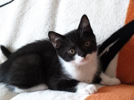 Foto 3 BKH Kitten 12 Wochen alt m. P. ab sofort