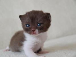 Foto 4 BKH Kitten 12 Wochen alt m. P. ab sofort