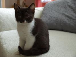 Foto 6 BKH Kitten 12 Wochen alt m. P. ab sofort