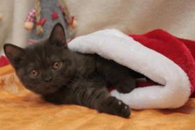 BKH Kitten: 7 kleine Schokoküsse