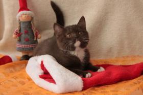 Foto 2 BKH Kitten: 7 kleine Schokoküsse