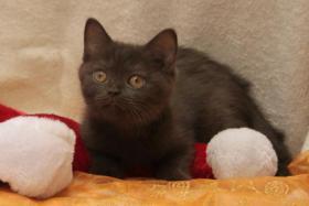 Foto 3 BKH Kitten: 7 kleine Schokoküsse