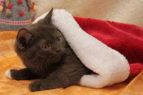 Foto 4 BKH Kitten: 7 kleine Schokoküsse