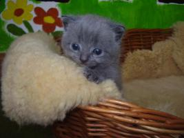 Foto 2 BKH Kitten Britisch kurzhaar Kitten