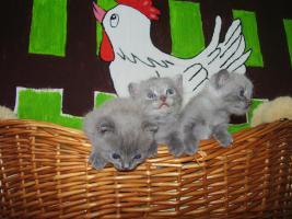 Foto 3 BKH Kitten Britisch kurzhaar Kitten