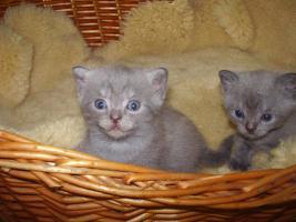 Foto 4 BKH Kitten Britisch kurzhaar Kitten